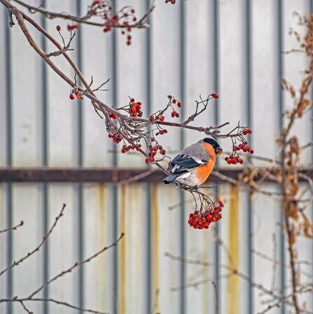 eurasian bullfinch, a bird with the Latin name Pyrrhula pyrrhula on a branch of mountain ash in winter eats berries