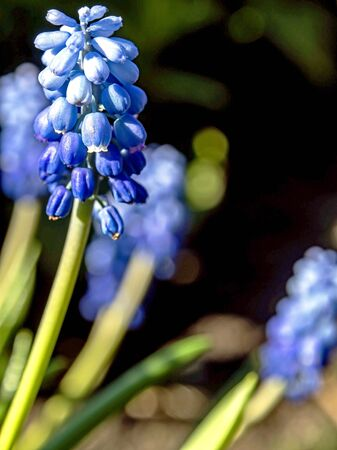 fresh blue flowers grape Hyacinth with Latin name Muscari in the garden Imagens