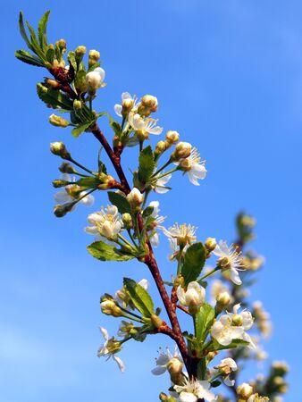 beautiful branches of a blooming Apple tree against the blue sky Фото со стока