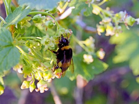 bumblebee collects nectar from currant flowers, macro, narrow focus zone