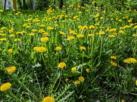 yellow blooming spring dandelions on the green grass illuminated by the sun
