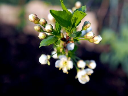 beautiful fresh Apple buds and flowers on a branch, macro, narrow focus area