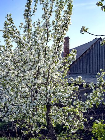 blooming Apple tree in the garden against the blue sky in spring