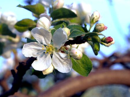 beautiful branches of a blooming Apple tree against the blue sky Stok Fotoğraf