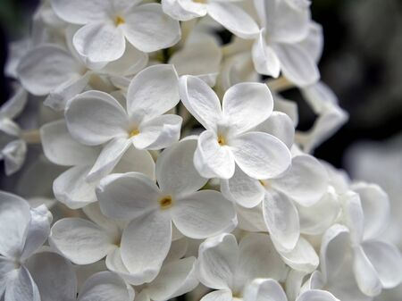 blooming white lilac on branches in spring, macro Standard-Bild