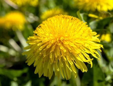 yellow blooming spring dandelions macro, narrow focus zone, bokeh Reklamní fotografie - 148276978