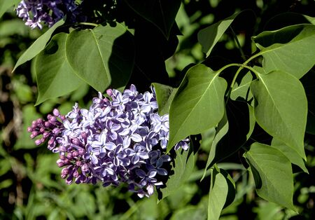 beautiful bright blooming lilac on the branches in spring