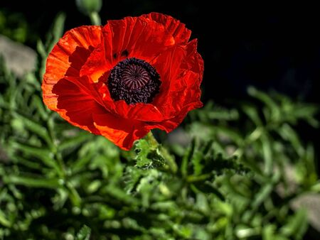 red poppy in the garden is illuminated by the morning sun