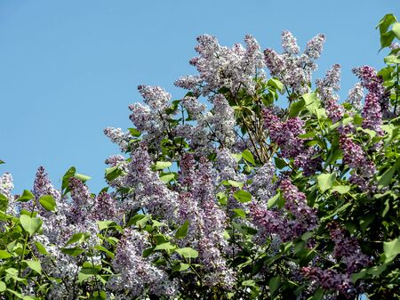 beautiful bright blooming lilac on the branches in spring 免版税图像