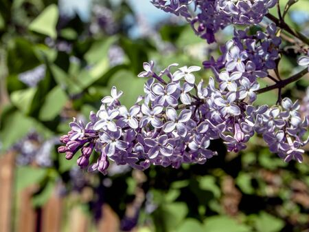 beautiful bright blooming lilac on the branches in spring Standard-Bild