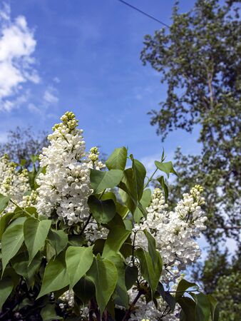 blooming white lilac on branches in spring