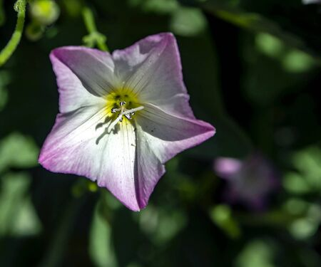 bindweed flowers, plants with the Latin name Convolvulus arvensis in a meadow