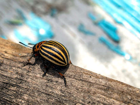 Colorado beetle an insect with the Latin name Leptinotarsa decemlineata is a pest of potatoes