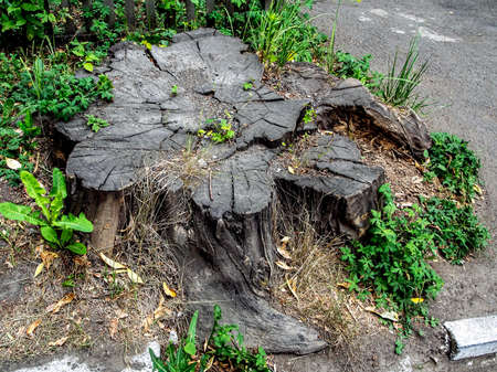 old cracked stump on the ground, cracks run through the annual rings