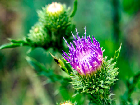 beautiful bright Thistle flower, plants with the Latin name Carduus on a green natural background, narrow focus area