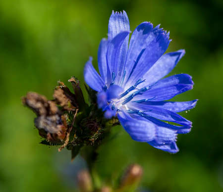 delicate blue flowers of chicory, plants with the Latin name Cichorium intybus on a blurred natural background, narrow focus area