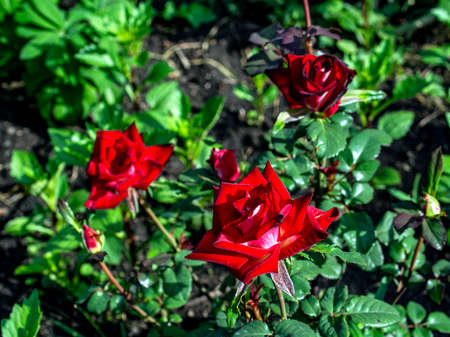 bright fresh blooming red rose against the background of natural greenery in the garden