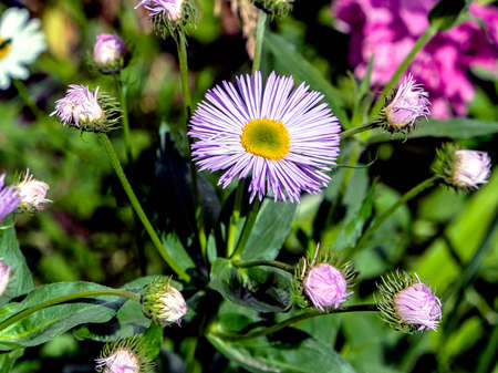 beautiful flower with light purple petals, with the Latin name Erigeron annuus on a blurred natural background, narrow focus area, macro