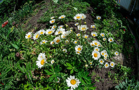 glade with white daisies, illuminated by the sun, top view, fish-eye lens