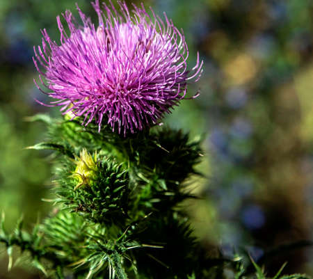 beautiful bright Thistle flower, plants with the Latin name Carduus, macro