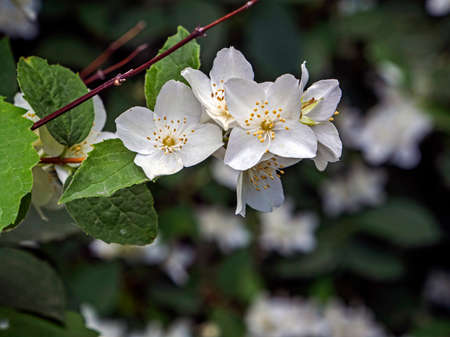 branch of a fragrant flowering plant with the Latin name Philadelphus, called Jasmine in Russia by mistake Фото со стока