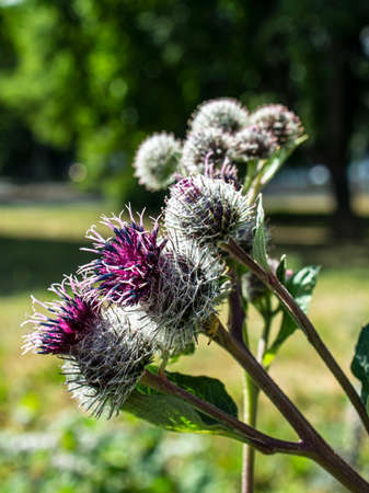 burdock flowers plants with the Latin name Arctium lappa, macro, narrow focus zone