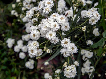 beautiful small white flowers in the form of a ball with the Latin name Achillea ptarmica Ballerina in the garden