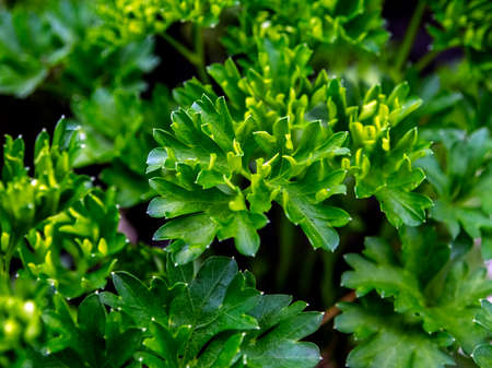 leaves of parsley, a spicy plant with the Latin name Petroselinum crispum in the garden, macro