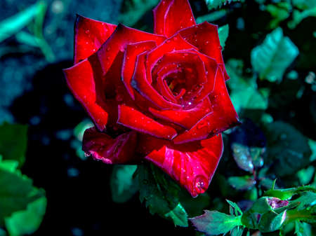 Beautiful red rose with raindrops on a blurred green natural background, macro