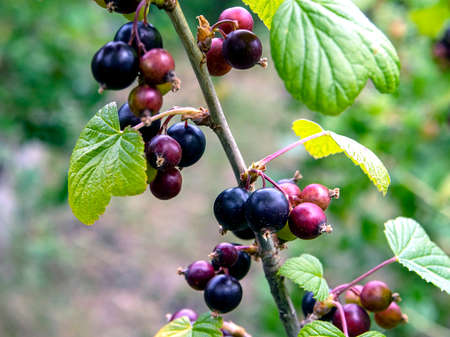 soon ripe black currant in the garden on the Bush