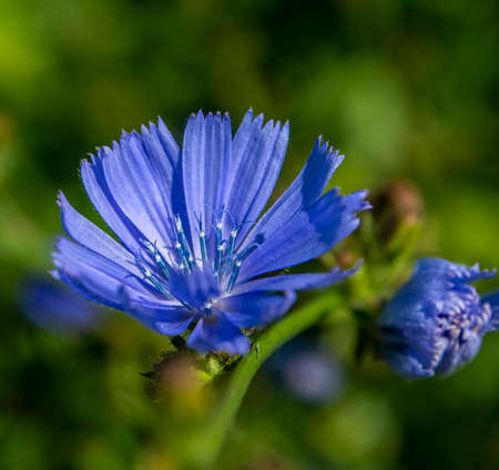delicate blue flowers of chicory, plants with the Latin name Cichorium intybus, macro Фото со стока