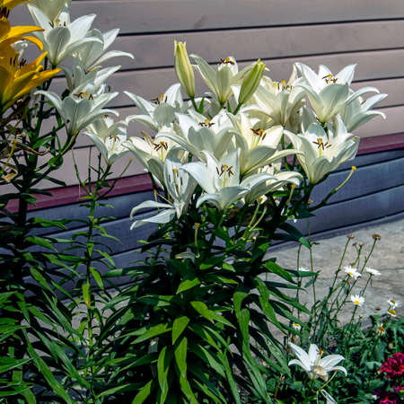 fresh bright yellow and white lilies are blooming nearby Фото со стока