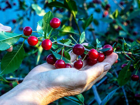 branch of ripe red cherry in the hands of a man