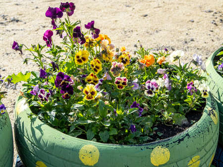 small flower bed in an old car tire, one of the ways to recycle old tires