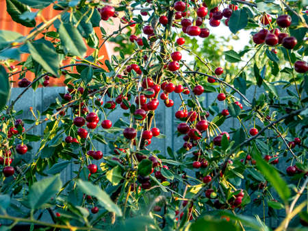 juicy red ripe cherry on the tree, narrow focus zone Фото со стока