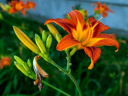 bright orange lilies in the garden against a blurred natural landscape Фото со стока