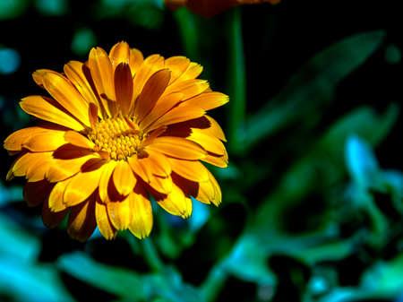 yellow calendula flower, plants with the Latin name Calendula on a blurred natural background, macro, narrow focus zone Фото со стока