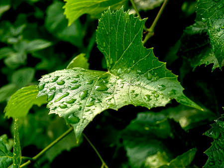 raindrops on green grape leaves, macro, narrow focus area
