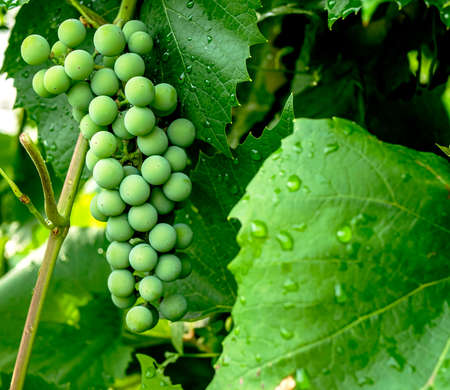 green unripe bunch of grapes. Young green grapes on a vine with green leaves in a garden in the southern Urals