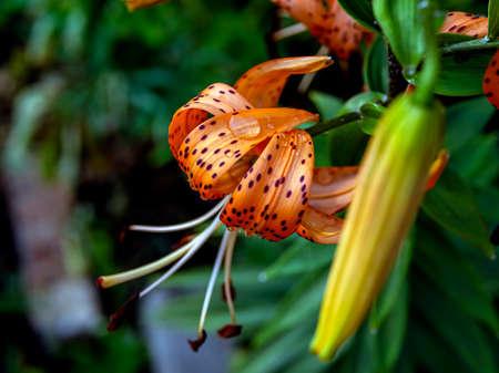 orange tiger Lily with raindrops, macro, narrow focus area Фото со стока