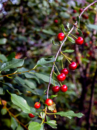 ripe cherry on a branch with drops after rain, macro, narrow focus zone