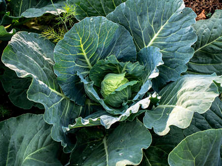 juicy green cabbage leaves begin to curl into heads in the garden