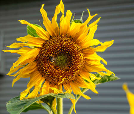 yellow sunflower blooms and bumblebee collects nectar, macro, narrow focus zone Фото со стока