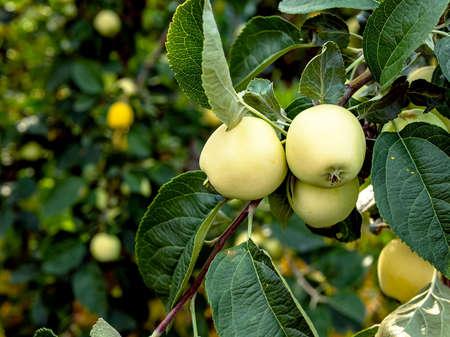 ripen green juicy apples on branches in the garden, macro Фото со стока