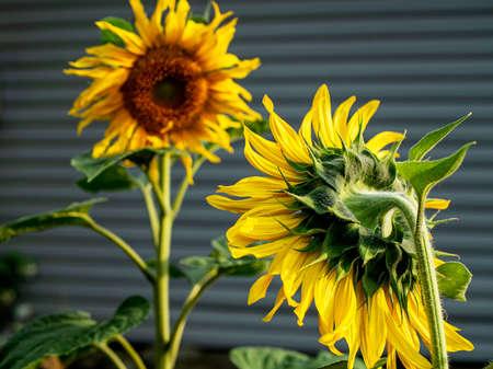 yellow sunflower blooms back view, macro, narrow focus area