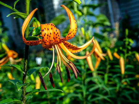 orange tiger Lily on a blurred natural background, macro, narrow focus area Фото со стока