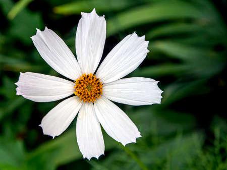 delicate bright white cosmea in the garden on a blurred dark background