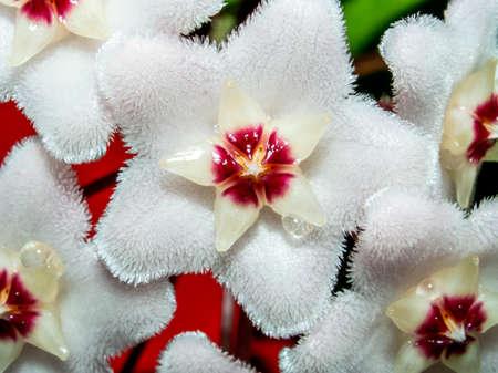 home flower with the Latin name of carnosa, narrow focus area, macro Фото со стока