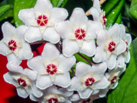 Flower Of Carnosa. Porcelain flower or wax plant. Has wax leaves and sweet-smelling flowers Фото со стока