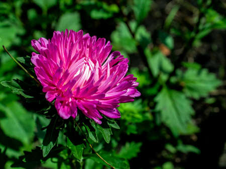 fresh pink Aster blooms in the garden on a blurred natural background Фото со стока